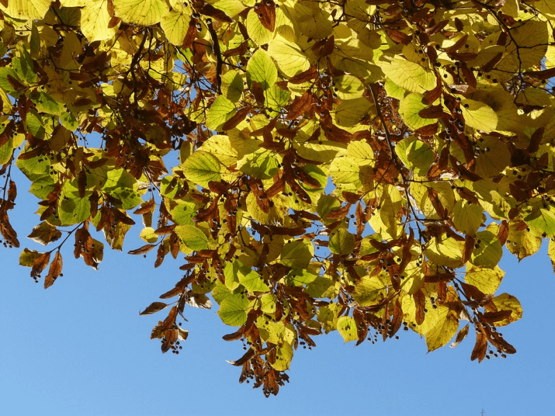 Leaves of a linden tree, a single-plant sleep remedy