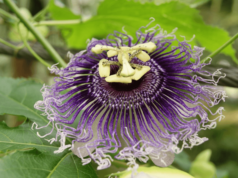 Close up shot of a passionflower, a natural american sleep remedy