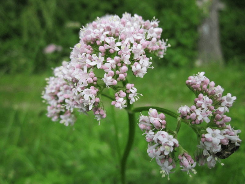 Close up of valerian plant
