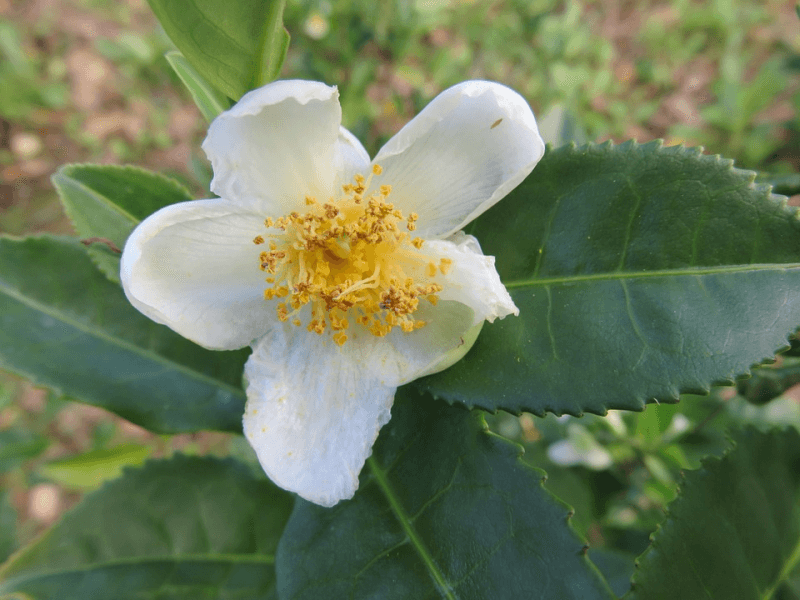 Close up view of a camellia plant, an exotic sleep remedy