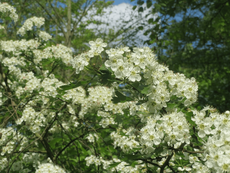 hawthorn plant with white blooms