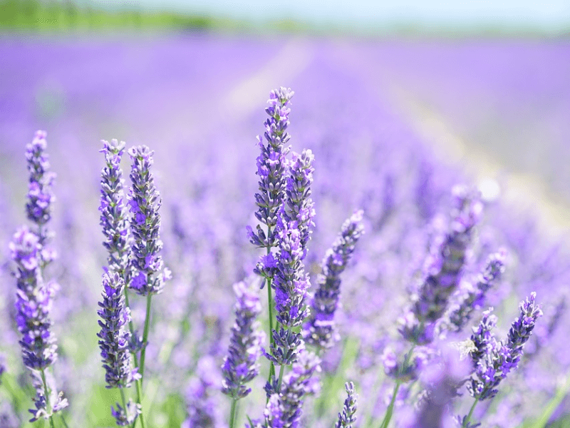 Lavender plants on a field