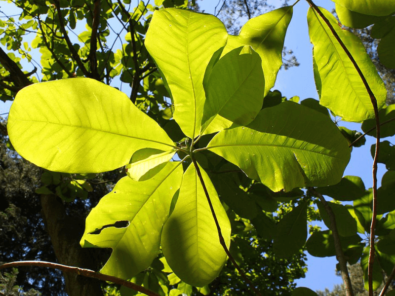 Large magnolia leaves in the sunlight