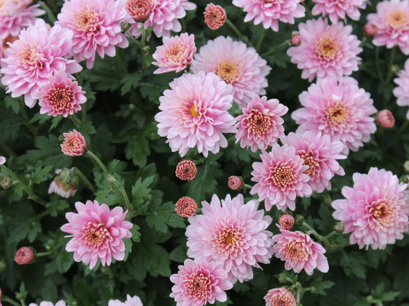 A bunch of chrysanthemums in bloom, up close