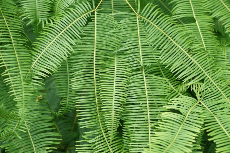 frond details of boston fern