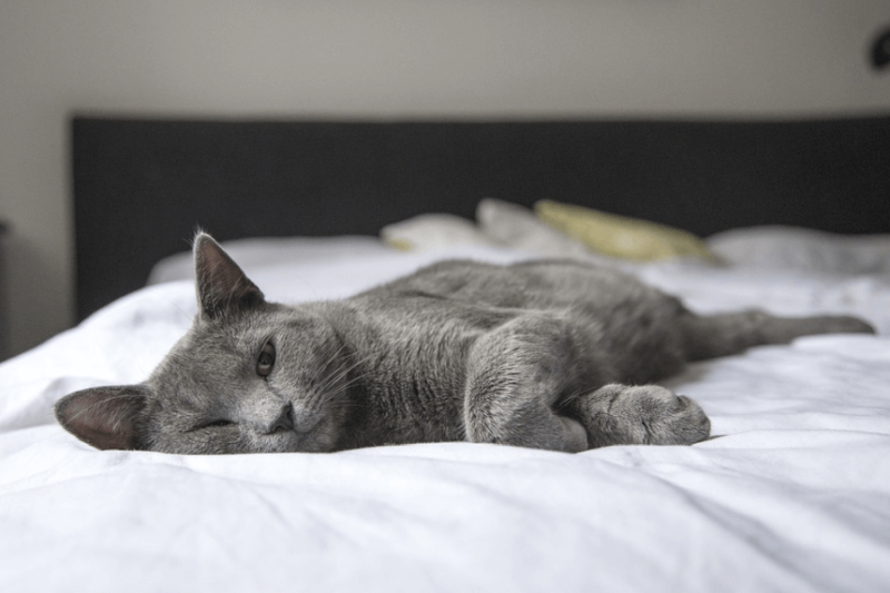 gray cat lying sprawled on bed