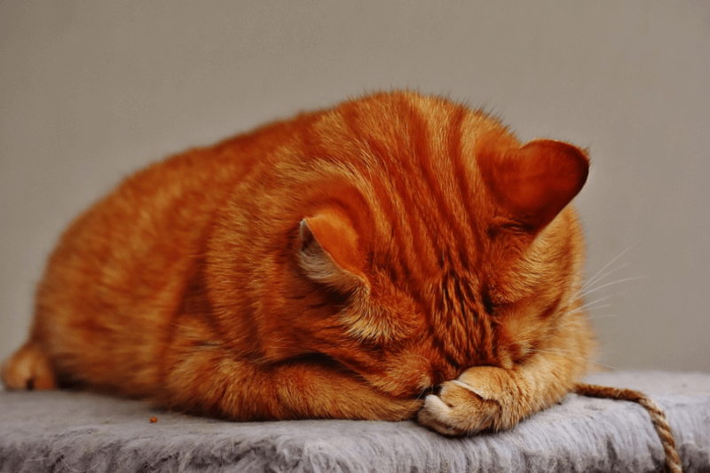 A bright orange pet cat, napping