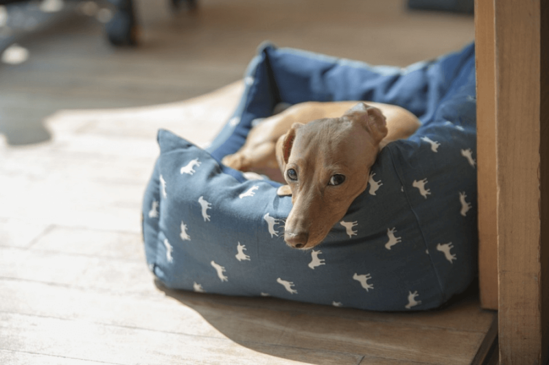 medium sized brown dog lying down on blue dog bed on floor