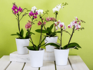 Top Pet-Friendly Bedroom Plants moth orchids